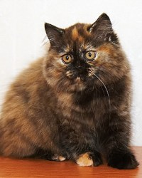 Bri Cat Club Kot Brytyjski Długowłosy
