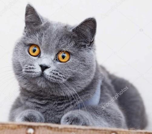 depositphotos_208025410-stock-photo-british-shorthair-cat-portrait-beautiful