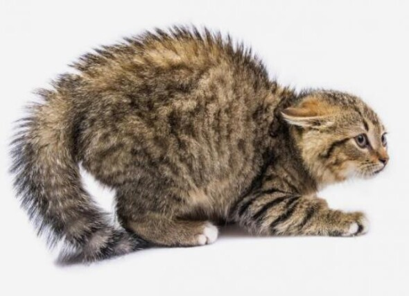 nastroszony-kot